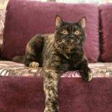 Gato preto e marrom inclinado sobre o pé com sofá cor-de-rosa fotos de stock royalty free