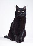 Gato preto em um branco Imagens de Stock Royalty Free