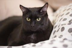 Gato preto grande preguiçoso que coloca na cama Imagens de Stock