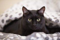 Gato preto grande preguiçoso que coloca na cama Imagens de Stock Royalty Free