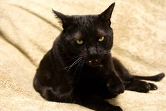 Gato preto médio Foto de Stock Royalty Free