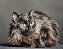 Gato preto macio bonito Fotografia de Stock