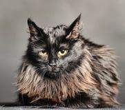 Gato preto macio bonito Fotos de Stock Royalty Free