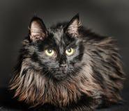 Gato preto macio bonito Foto de Stock