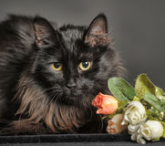 Gato preto macio bonito Fotografia de Stock Royalty Free