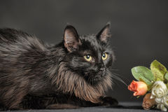 Gato preto macio bonito Imagem de Stock