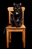 Gato preto na cadeira de madeira Fotos de Stock Royalty Free