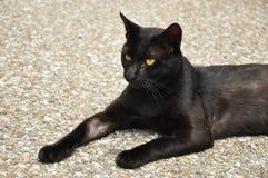 Gato preto na postura séria foto de stock royalty free