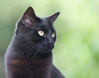 Gato preto no backgroung verde Fotos de Stock Royalty Free
