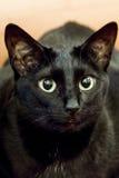 Gato preto pequeno com os grandes olhos amarelos Fotografia de Stock Royalty Free