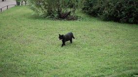 Gato preto que anda em um jardim ou em um parque vídeos de arquivo