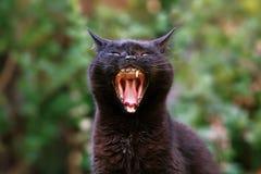 Gato preto que boceja Fotografia de Stock