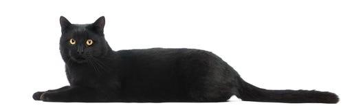 Gato preto que encontra-se e que olha a câmera fotos de stock