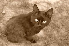 Gato preto que olha a câmera Imagens de Stock Royalty Free