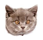 Gato principal en agujero rasgado lado de papel Aislado en el fondo blanco Fotografía de archivo