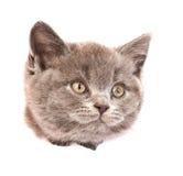 Gato principal en el agujero rasgado lado de papel que mira lejos Aislado en blanco Fotografía de archivo libre de regalías