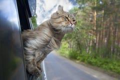 Gato principal fuera de una ventanilla del coche en el movimiento Foto de archivo libre de regalías