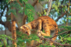 Gato pronto para saltar da árvore Fotos de Stock Royalty Free