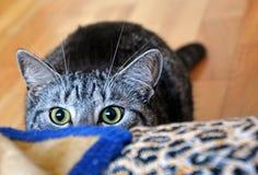 Gato psicótico 2 fotografia de stock