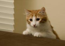 Gato que alcanza el borde del sofá Imagenes de archivo