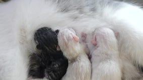 Gato que alimenta pequeños gatitos lindos en casa pequeño recién nacido los gatitos Forma de vida preciosa el dormir de los gatit metrajes