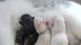 Gato que alimenta pequeños gatitos lindos en casa pequeño recién nacido los gatitos gatitos preciosos de la forma de vida que due almacen de metraje de vídeo