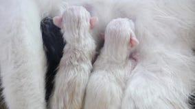 Gato que alimenta pequeños gatitos lindos en casa pequeño recién nacido los gatitos Gatitos preciosos que duermen junto en blanco almacen de video