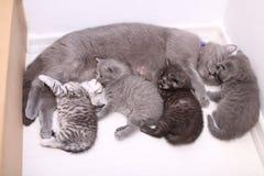 Gato que alimenta seus bebês fotografia de stock royalty free