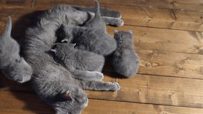 Gato que alimenta a sus bebés almacen de video