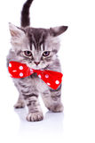 Gato que anda com uma curva vermelha grande da garganta Imagem de Stock Royalty Free
