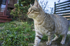 Gato que anda em uma cerca Fotografia de Stock Royalty Free