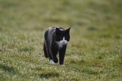 Gato que anda nos Países Baixos Imagens de Stock