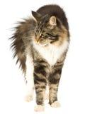 Gato que arquea detrás, en el fondo blanco Imágenes de archivo libres de regalías