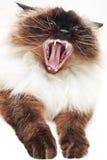 Gato que boceja Imagem de Stock