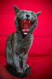 Gato que boceja Fotografia de Stock