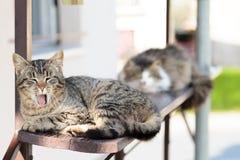 Gato que boceja Fotografia de Stock Royalty Free