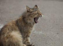 Gato que boceja Imagem de Stock Royalty Free