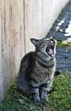 Gato que bosteza Imagenes de archivo