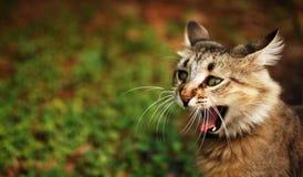 Gato que bosteza Imágenes de archivo libres de regalías