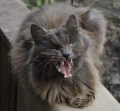 Gato que bosteza Fotografía de archivo libre de regalías