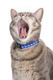 Gato que bosteza Imagen de archivo libre de regalías