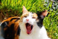 Gato que bosteza Fotografía de archivo