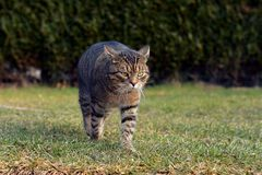 Gato que camina en el jardín Foto de archivo