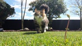 Gato que camina en hierba Imagenes de archivo
