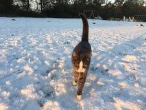 Gato que camina en nieve Fotos de archivo