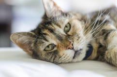 Gato que coloca na cama Fotografia de Stock Royalty Free
