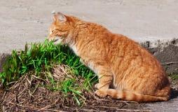 Gato que come a grama nova fresca Imagens de Stock Royalty Free
