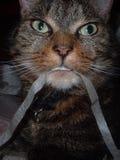 Gato que come la cinta Fotos de archivo
