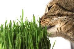 Gato que come la hierba Fotos de archivo