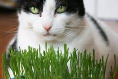 Gato que come la hierba Imagen de archivo libre de regalías